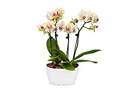 Beautiful Easy to Care For Orchid
